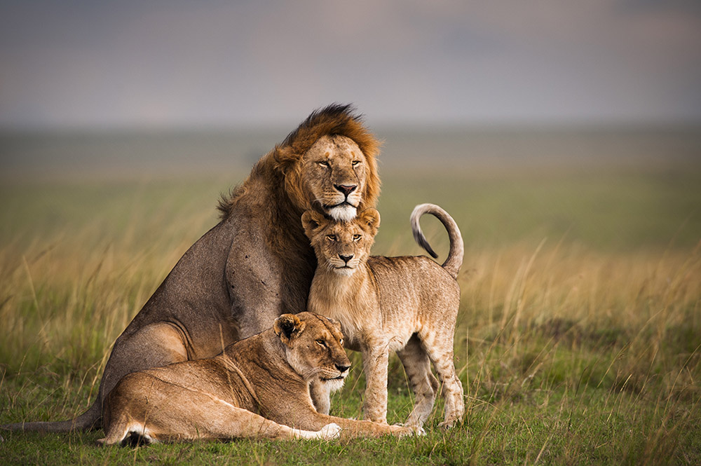 lions_family
